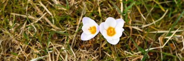 만개 한 꽃 크로커스, 흰색 라일락 색, 시든 잔디에서 자랍니다. 자연 야외에서 첫 번째 봄 꽃. 배너