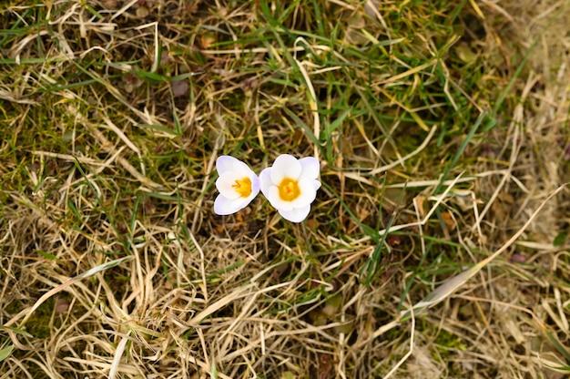枯れた草の上には、満開の白いライラック色の花クロッカスが生えています。自然の中で最初の春の花は屋外です。上面図