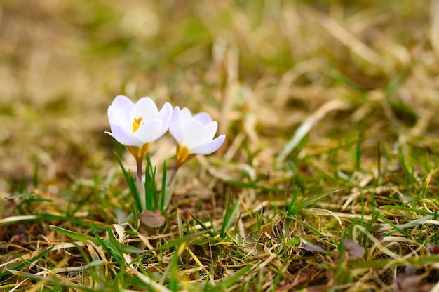 枯れた草の上には、満開の白いライラック色の花クロッカスが生えています。自然の中で最初の春の花屋外