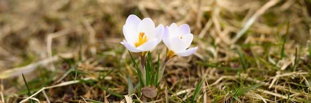 枯れた草の上には、満開の白いライラック色の花クロッカスが生えています。屋外の自然の中で最初の春の花。