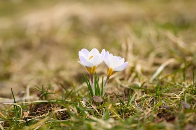 枯れた草の上には、満開の白いライラック色の花クロッカスが生えています。