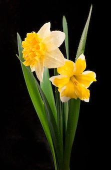 Flowers of daffodils isolated on black
