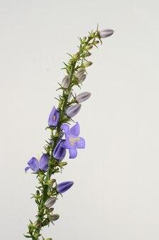 Flowers of a dalmatian bellflower campanula portenschlagiana