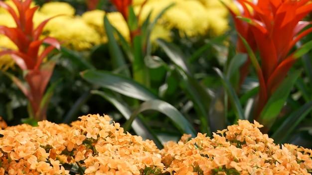 Украшение цветами на китайский новый год. красно-желтая декоративная клумба из хризантем, гортензии и гузмании. разноцветное цветение сочных экзотических растений, крупным планом цветочный фон с мягким фокусом.