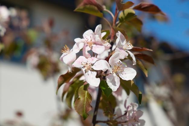 Flowers decorative apple tree rudolf background
