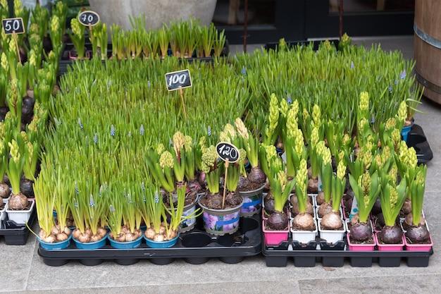 꽃 시장에서 판매를위한 꽃. 정원을위한 구근 다년생 꽃.