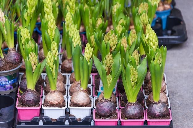 Продажа цветов на цветочном рынке. луковичные многолетние цветы для дачи.