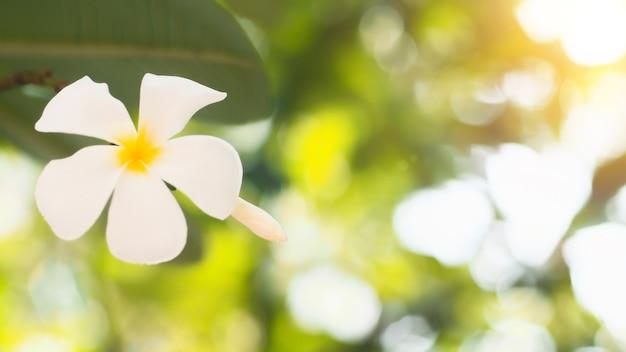 花 フランジパニ プルメリア