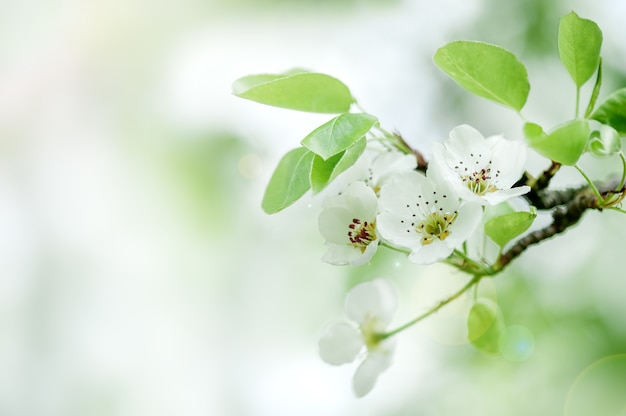 Flowers of fruit trees blossoming cherry branch on a blurred background copy space
