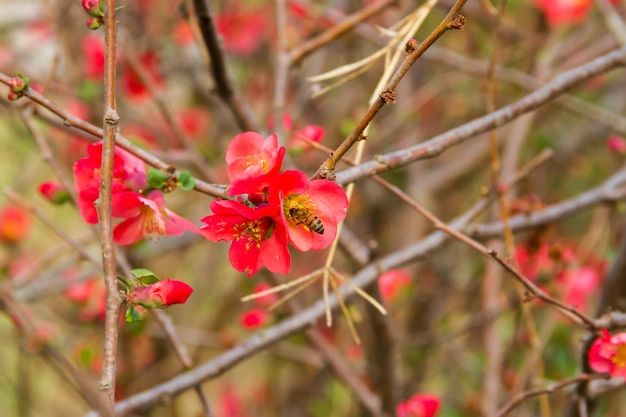 Flowers of the garden quince bloomed in spring
