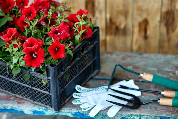 Flowers and gardening tools on wooden background. petunia in a basket and garden equipments. spring garden works concept. copy space