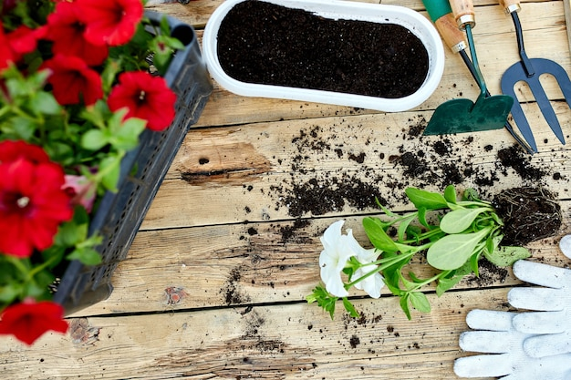 Flowers and gardening tools on wooden background. petunia in a basket and garden equipments. spring garden works concept. flat lay, copy space, frame.