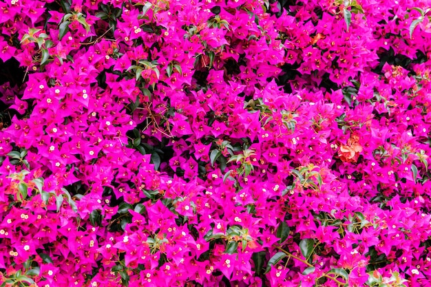 Flowers growing in garden, closeup. beautiful natural wallpaper of flowering bush with bougainvillea