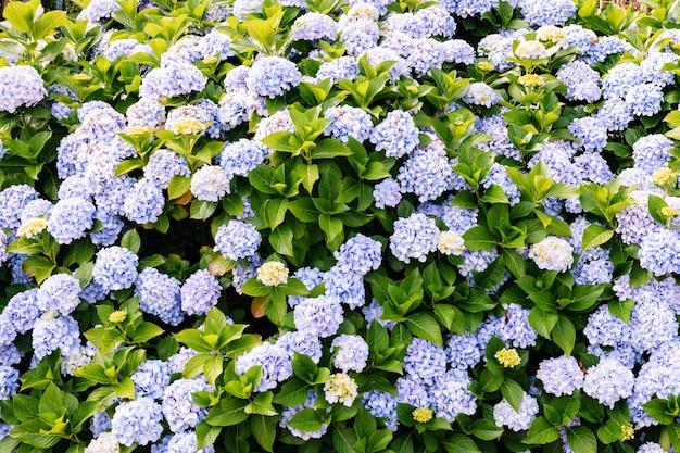 Flowers growing in garden, closeup. beautiful natural wallpaper of flowering bush with hydrangea