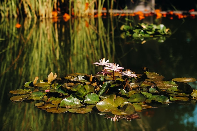 Цветы, растущие на воде в ботаническом саду пуэрто-де-ла-крус, тенерифе, испания.