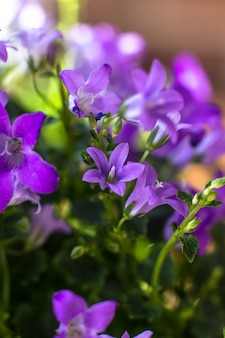 Flowers of the house plant campanula close-up
