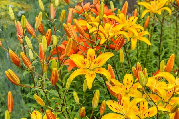 정원에서 꽃입니다. 백합. 꽃잎에 물 방울과 노란색 개화 꽃.