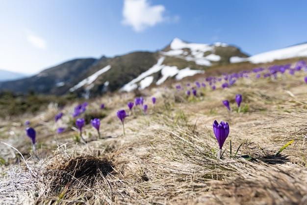山の花。雪の降る天気に咲く紫色のクロッカス。ヨーロッパ、カルパティア山脈、国境ウクライナ-ルーマニア、マルマロシー