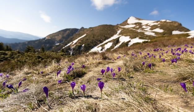山の花。雪の降る天気に咲く紫色のクロッカス