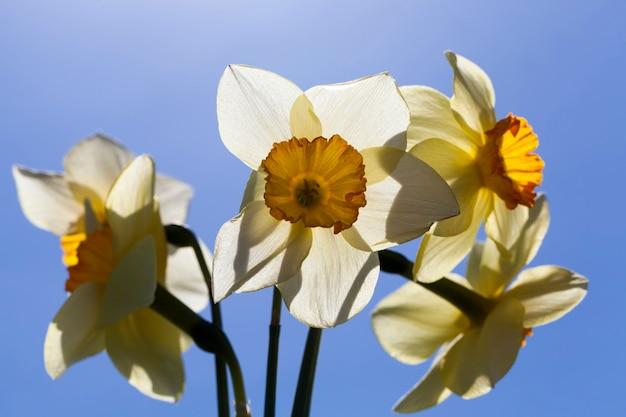 Цветы в весенний сезон, цветы выращивают для украшения и озеленения территории.