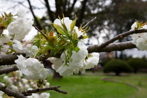 꽃 격리. 벚꽃이 피고 있습니다. 벚나무 가지에 흰 꽃. 꽃 배경, 봄