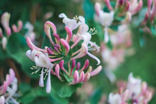 花lonicera sempervirens、または一般的なスイカズラ、ヨーロッパのスイカズラまたはウッドバイン。クローズアップとソフトフォーカス