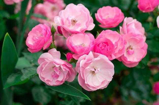Цветы нежной розовой розы сорта анжела, на фоне зелени в саду на кусте