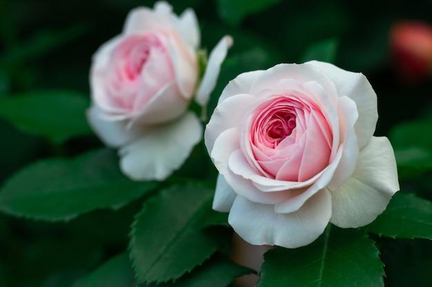 Цветы нежно-розовой розы сорта octavia hill