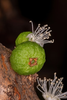 Цветы дерева jaboticaba вида plinia cauliflora