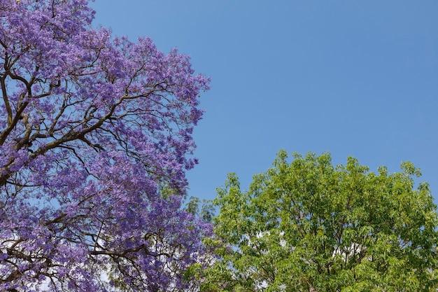 背景にいくつかの緑の葉を持つジャカランダの木の花