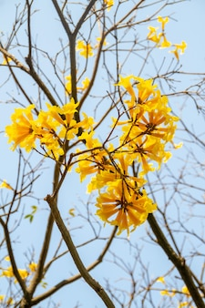 美しい青い空と黄色いイペの花