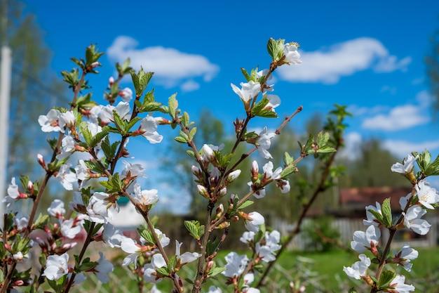 庭の若い桜の花