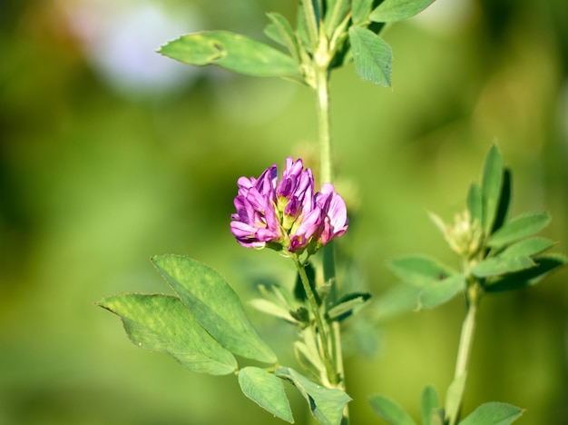 Цветы люцерны в поле medicago sativa