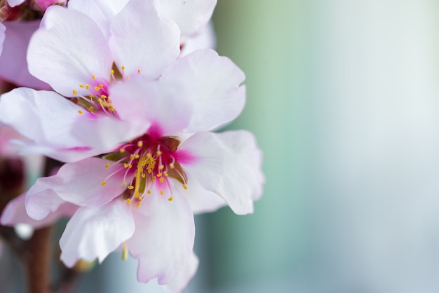 아몬드 나무의 꽃