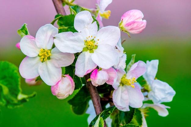 枝にリンゴの花をクローズアップ
