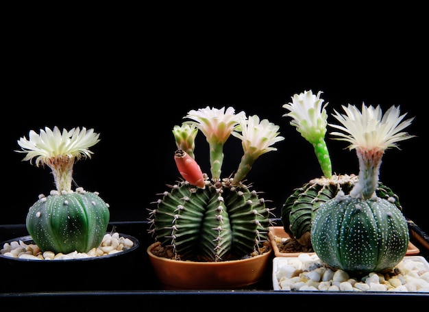 アストロフィツムとギムノカリキウムサボテンの花が咲く