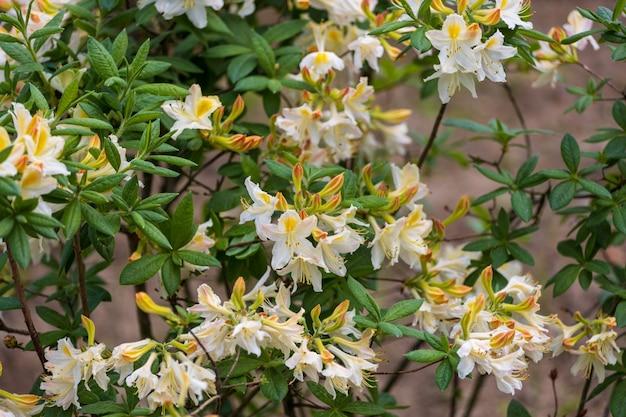 ツツジの花。矮性の美しい顕花植物。高品質の写真