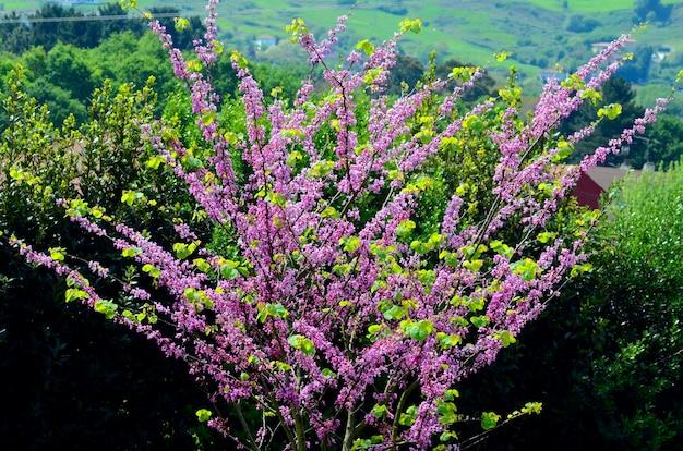 일반적으로 유다 나무로 알려진 cercis siliquastrum의 꽃