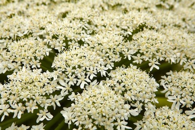 일반적인 hogweed 또는 암소 양방 풀 나물 꽃.