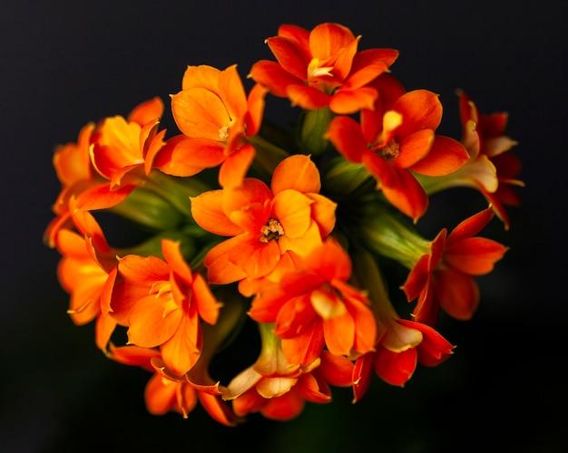 装飾的なオレンジ色のカランコエの花。観葉植物。閉じる。暗い背景