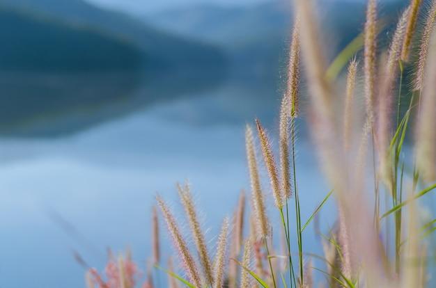 湖と山からの背景を持つ羽のペニセタムまたはミッショングラスの花