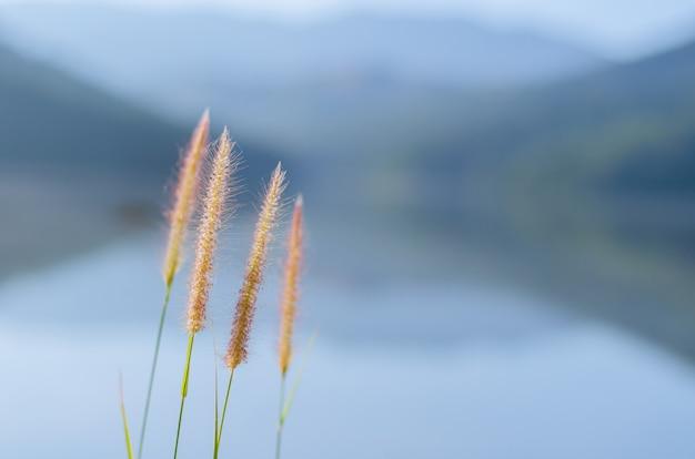 Цветы pennisetum пера или миссия травы с фоном от озера и гор.
