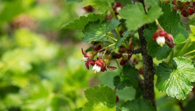 과수원의 덤불 가지에 피는 구스베리 꽃