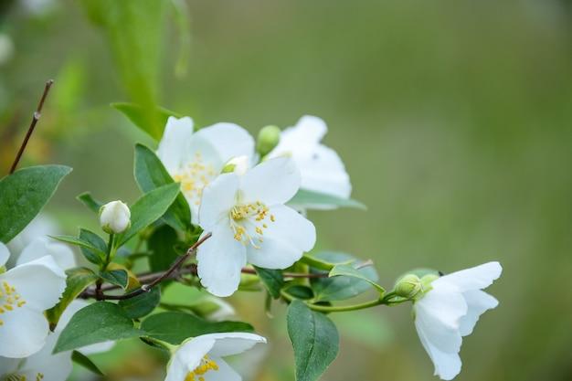 Цветы жасмина на ветках крупным планом