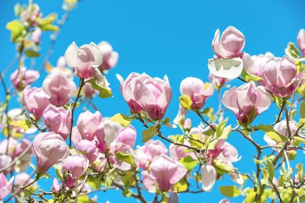 푸른 하늘 배경으로 목련 soulangiana 나무의 꽃