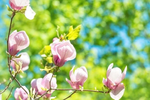 녹색 잎 배경으로 목련 soulangiana 나무의 꽃