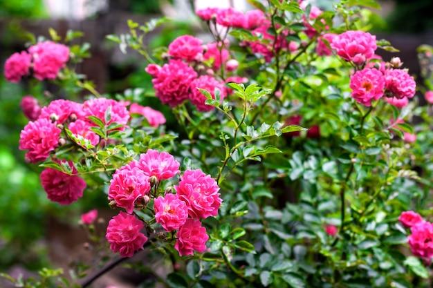 화창한 여름 날에 분홍색 등반 장미 근접 촬영의 꽃