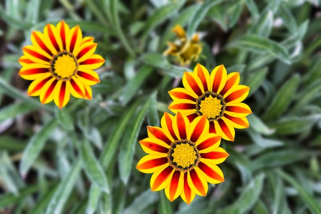 緑の葉を背景に赤と黄色のガザニアの花