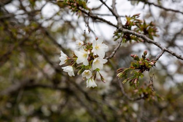 봄날, 봄날의 벚꽃의 꽃