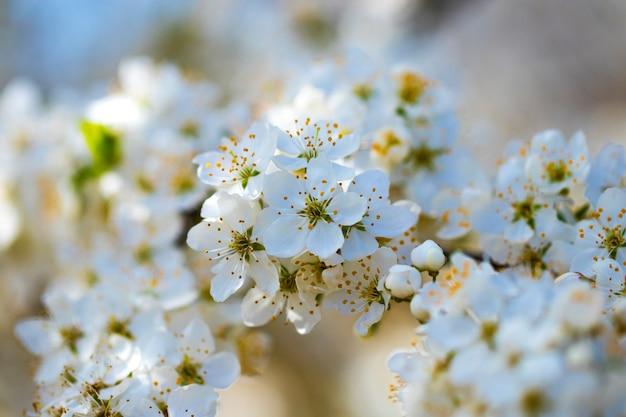 Цветы сакуры на весенний день